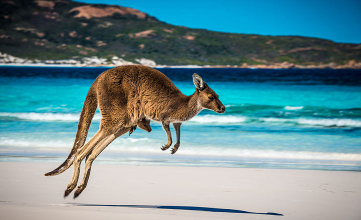 stock-photo-kangaroo+joey-on-beach-43067794.jpg