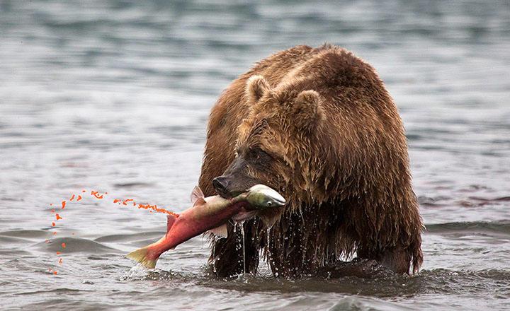 Bears-Kamchatka-Kuril-Lake-tour.jpg