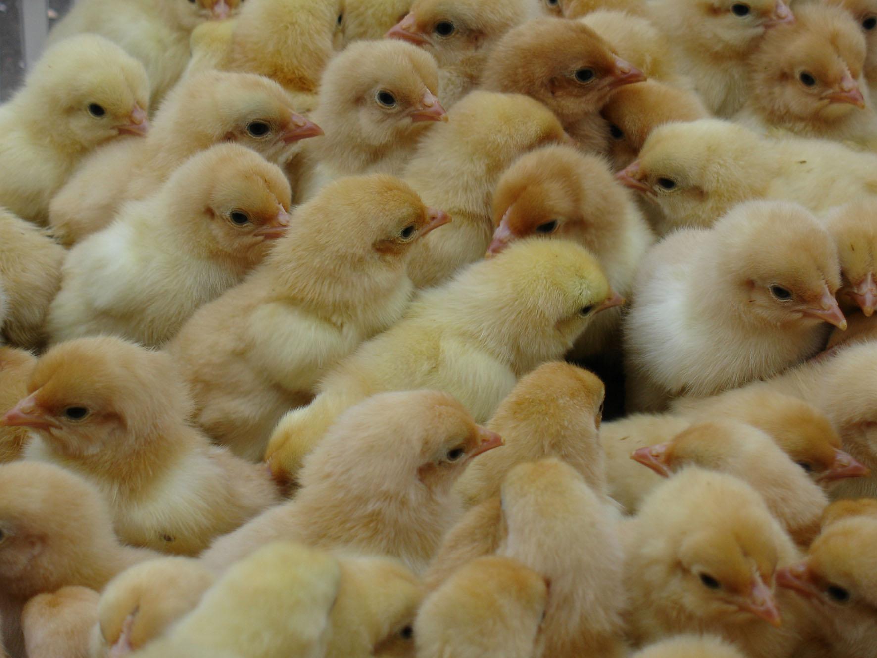 山鸡苗养殖技术
