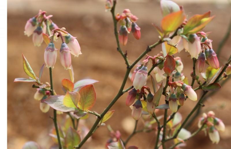 九龙湾蓝莓1.jpg