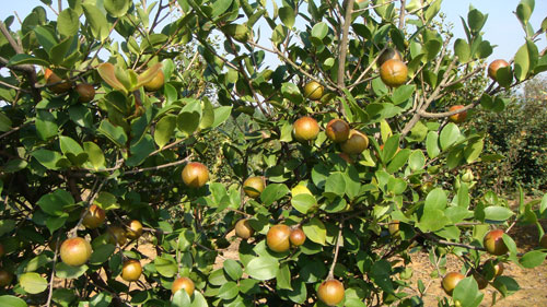 油茶苗栽培技术_油茶树的栽培技术要点浅析-惠农学堂-惠农网