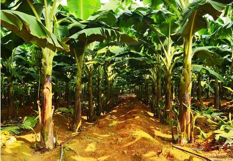 香蕉高产的栽培技术介绍