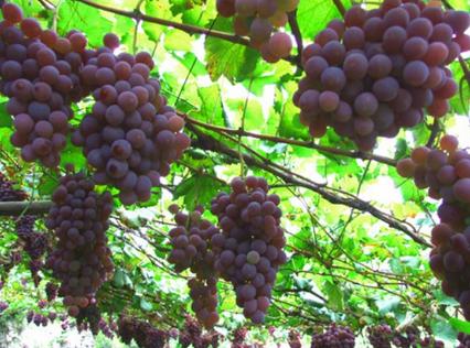 葡萄树.png