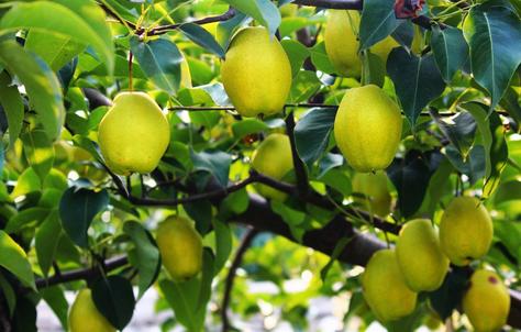梨树.png