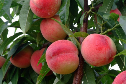 桃树.png