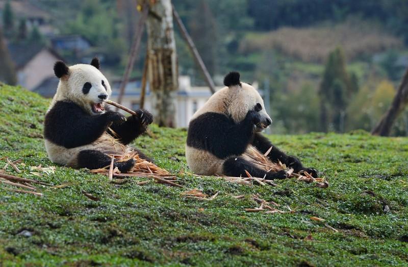 成都大熊猫繁育研究基地.jpg