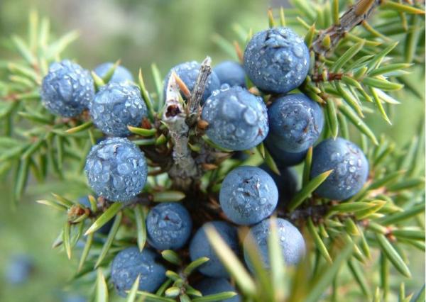 芳香部落 | 杜松浆果(juniperus communis) 单方精油5ml