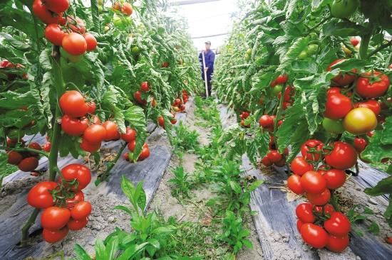 番茄图0.jpg