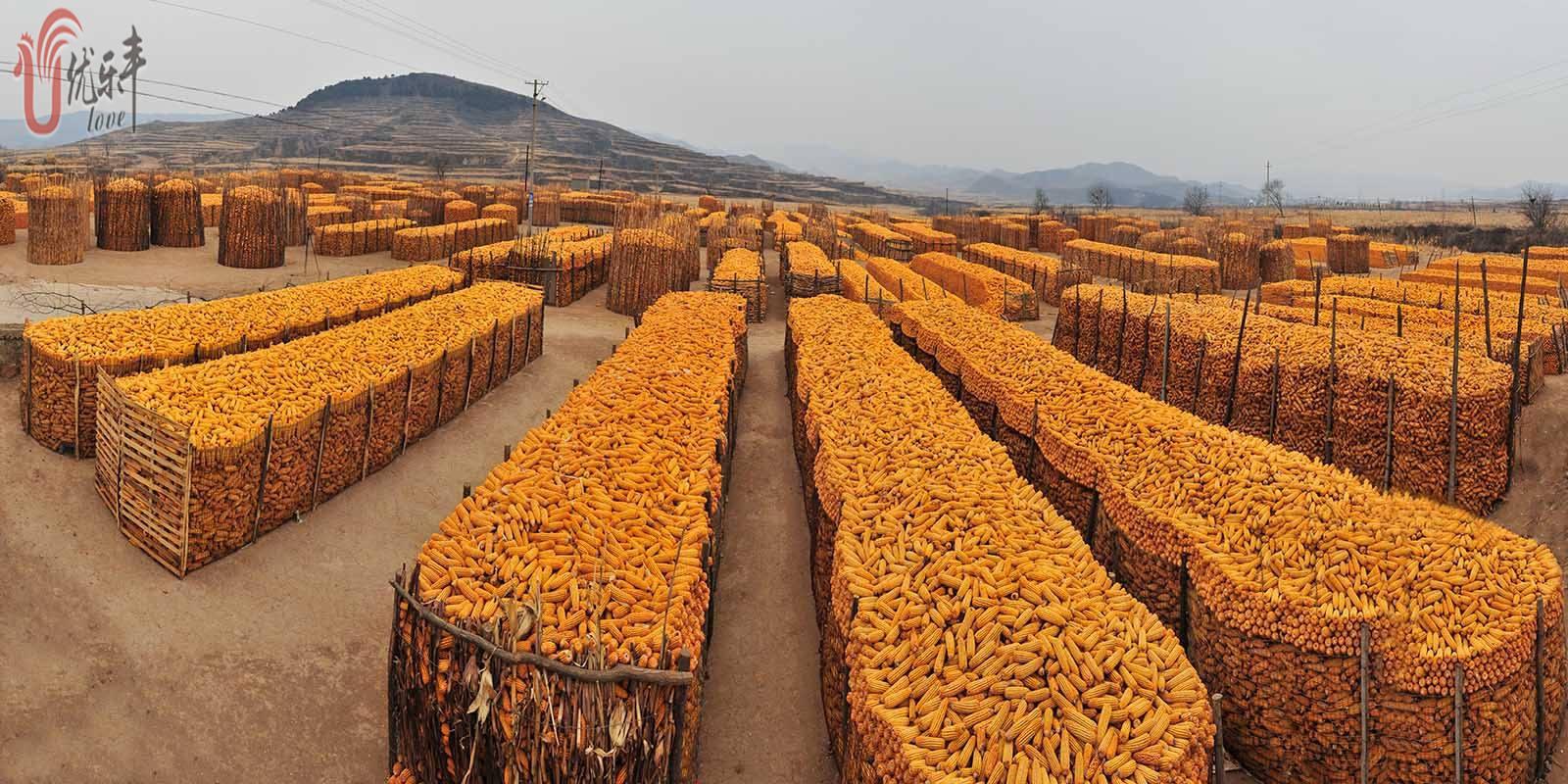 玉米价格堪比黄金|小鸡开口料