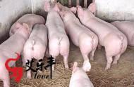 想在农村养猪致富的农民要注意!科学养猪四要点你可要做到了!|武汉华牧