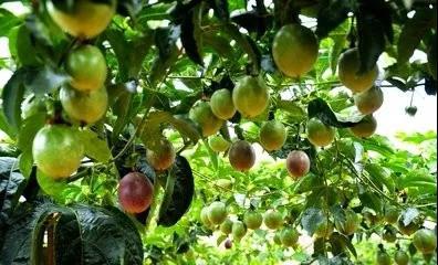 【农技】学会这个,百香果的种植又提升一个档次!