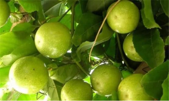 【农技】需要什么条件才能种好百香果?