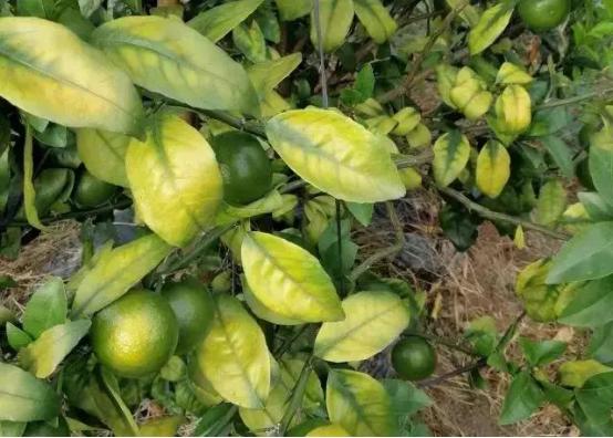 【农技】果树越种产量越低、病害越多?问题出在哪?