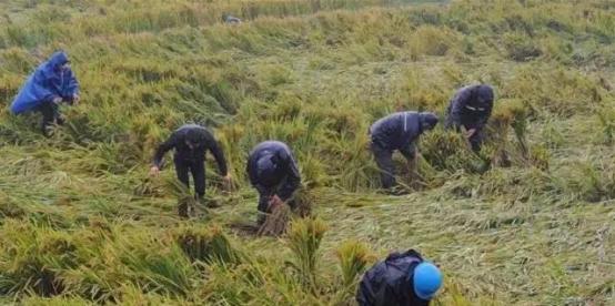 【农技】水稻反常现象产生的原因及预防!