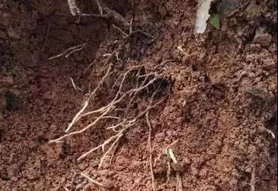 【农业知识】秋季施肥的时候,果树断根好不好?