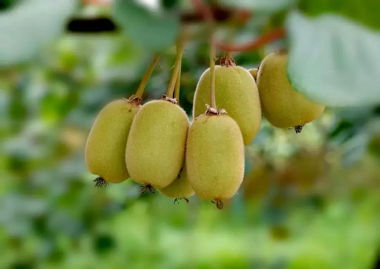 【农业知识】猕猴桃采收的前后都需要注意什么呢?