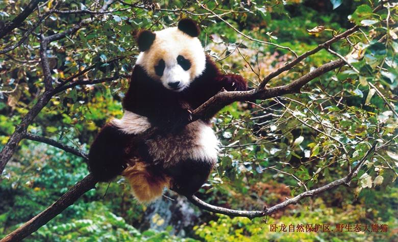 卧龙.大熊猫 (1)_副本.jpg