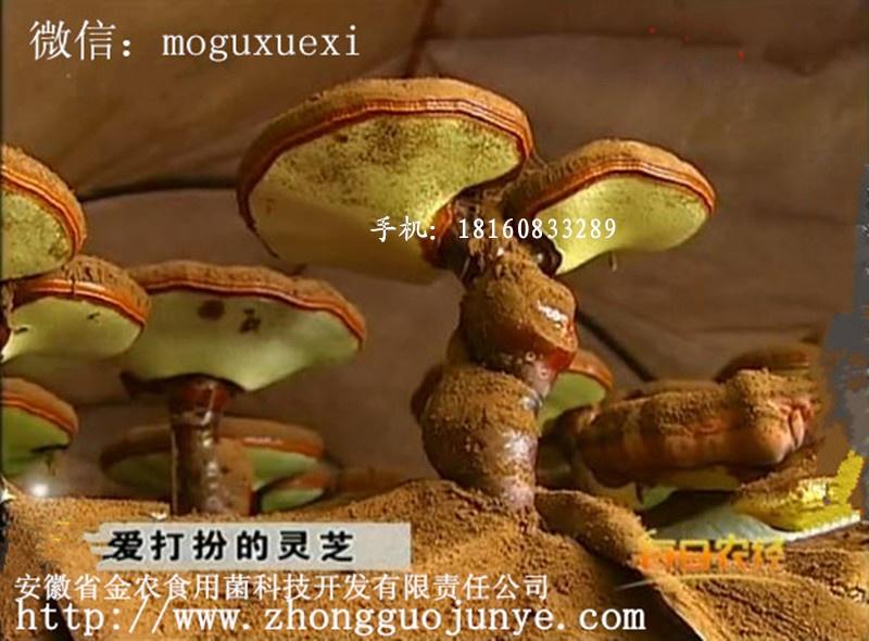 A 产孢子粉灵芝2.jpg