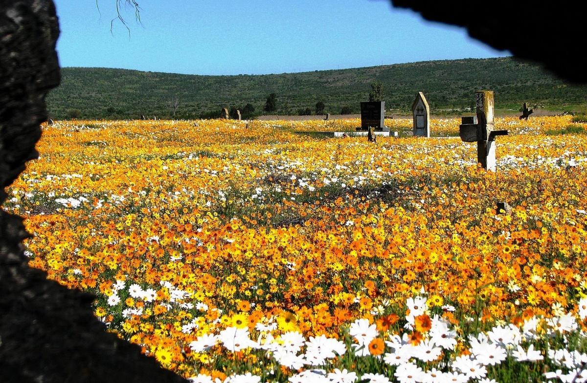 Namaqualand-flowers-graveyard.jpg