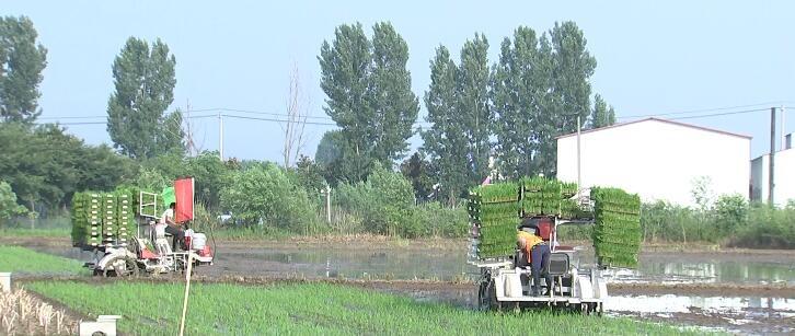 三夏一线 黄金村:采用钵苗移栽技术  助力减肥增产