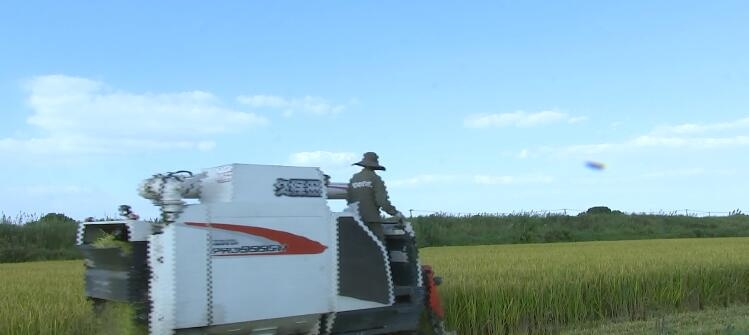 我区软米收割接近尾声  产量同比增二成