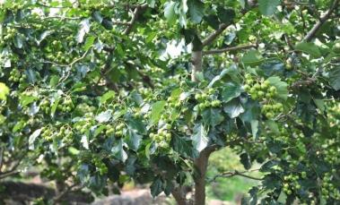 【农技】6月,杜绝果树大小年的关键期!