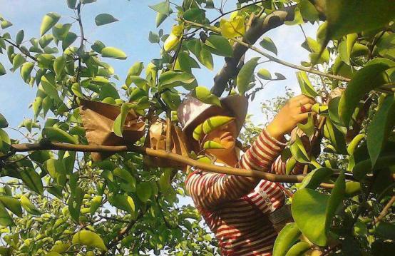 【农技】夏季是梨树全年生长关键期,管理要点来了!