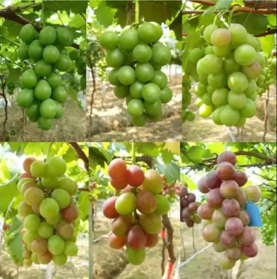 【农技】转色期将至,如何才能帮助葡萄均匀上色?