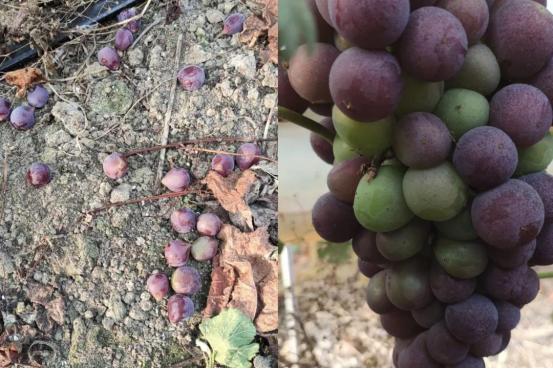 【农技】葡萄成熟时!如何减少掉粒的发生?