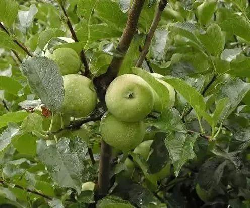7月,苹果果园管理5点要则!