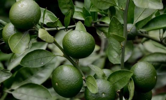 七月柑橘果农必学的柑橘果树管理要点及办法!
