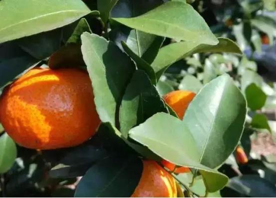 【农技】柑橘全套施肥技术(汇总版)