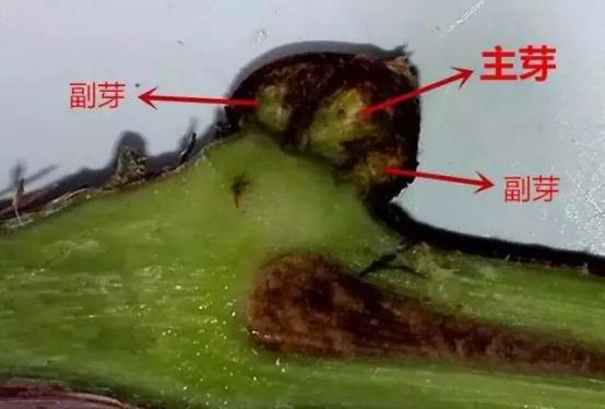 【农技】论葡萄后期保叶的重要性!