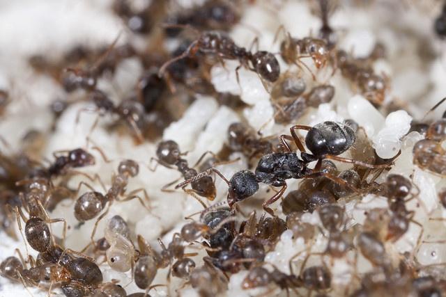 琉璃蟻防治