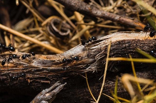 black-ants-on-brown-tree-trunks-674840.jpg