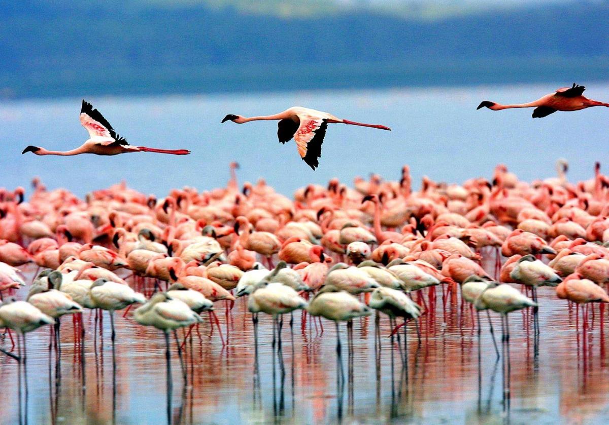 坦桑尼亚曼雅拉湖火烈鸟lake manyara Tanzania flamingoes.jpg